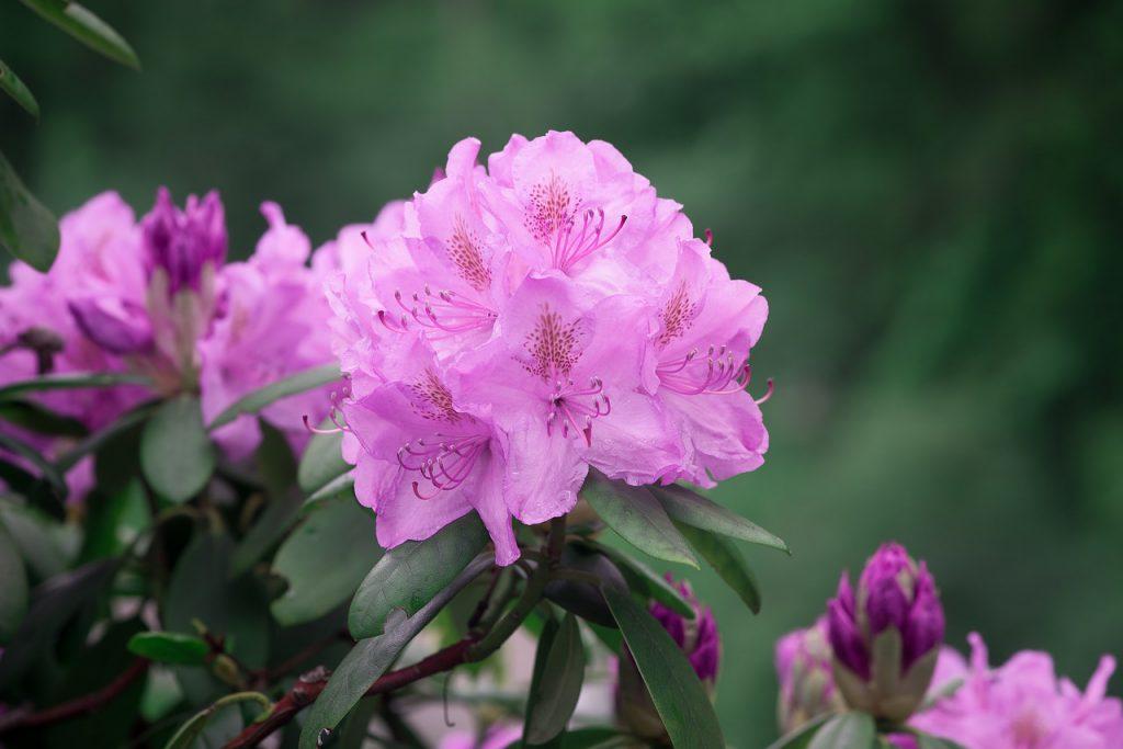 Rhododendron - was genau siehst du hier?