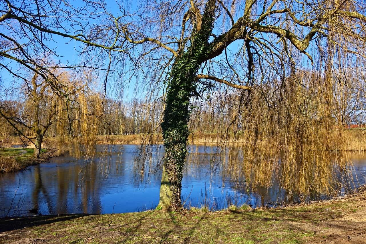 Trauerweide an einem See